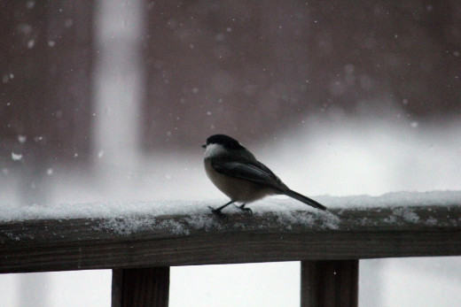 Black-capped chickadee watching the falling snow