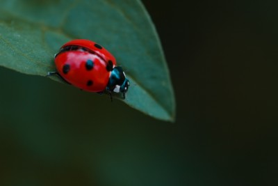 Ladybugs are hugely beneficial for your garden!