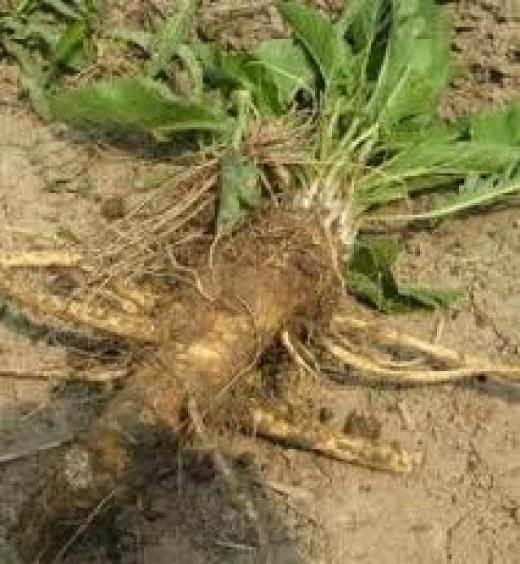 Horseradish Picked From the Garden
