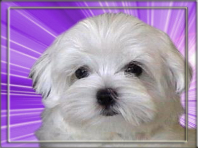 The cute little face of the Maltese
