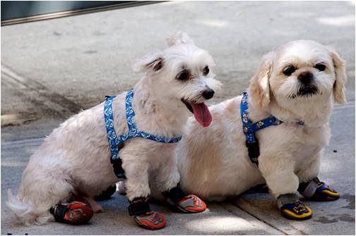 Even puppy dogs wear proper footwear while walking on a daily basis!