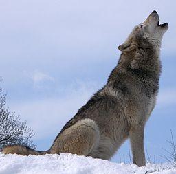 A grey wolf howling