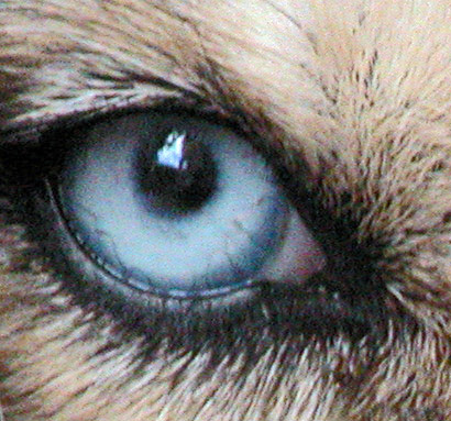 Managing eye conditions in dogs:symptoms,types,causes and suggested