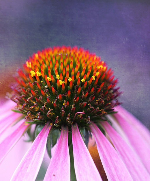 Echinacea has many uses in natural medicine
