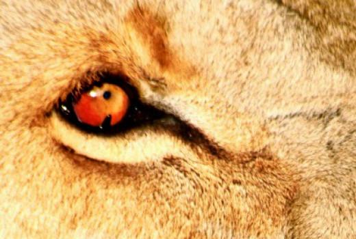Simba's solar eyes burning like hot coal.