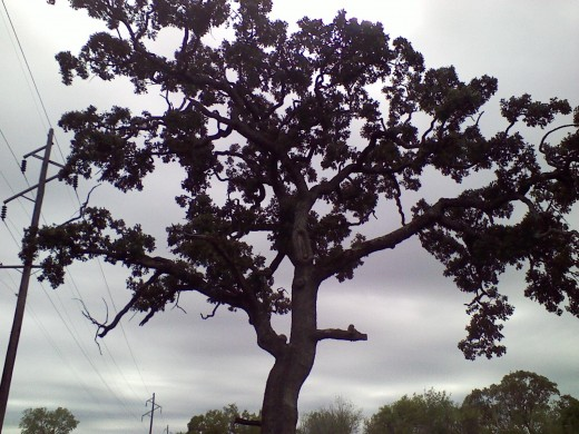 My artistic but arthritic oak tree.