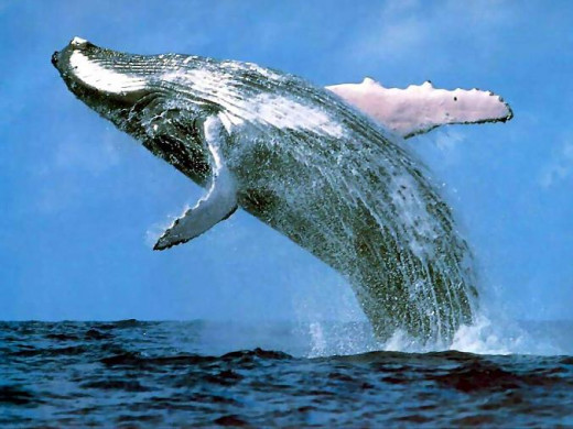 'Voice of the Whale', Whale Cottage Portfolio, Whale news