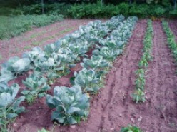Growing Brussels Sprouts Organically