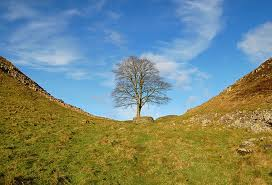 Sycamore Gap, site of one of the scenes in Kevin Costner's film 'Robin Hood Prince of Thieves'. It's a pleasant place for a rest on your walk with views north towards the border with Scotland.
