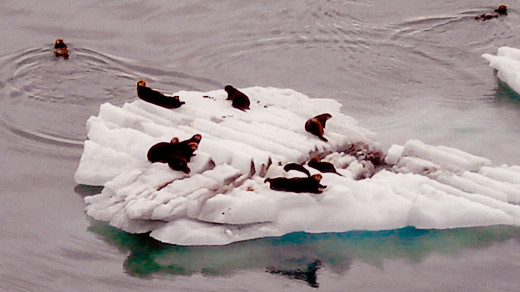Sea Otters Resting on an Iceberg