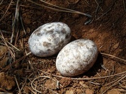 Common Nighthawk Eggs blend in well with their surroundings.