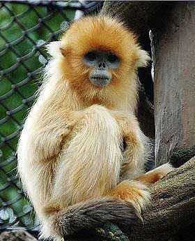 Sneezing Snub Nose Monkey