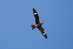 Nighthawk in flight.