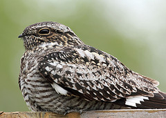 Common Nighthawk  (Chordeiles minor)  Nightjars (Caprimulgidae)