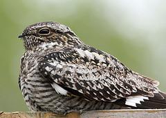 Common Nighthawk  (Chordeiles minor)  Nightjars (Caprimulgidae)