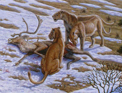 Two European (Cave) lions guarding their caribou kill.