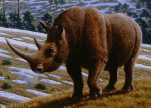 The woolly rhino is more closely related to the Indian rhino than to the two species that live in Africa today.