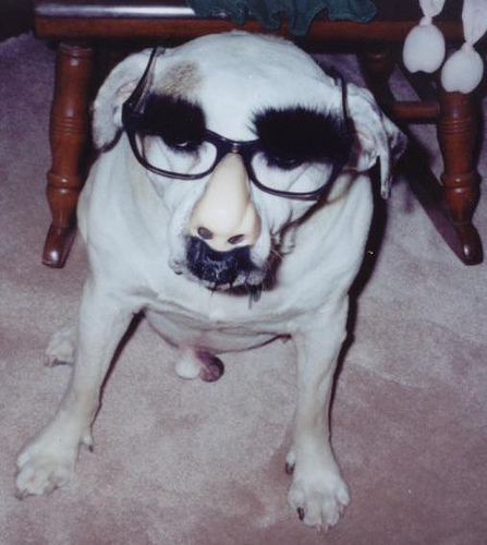 Truly sir, if I were a pit bull, would I have a mustache and be wearing spectacles?