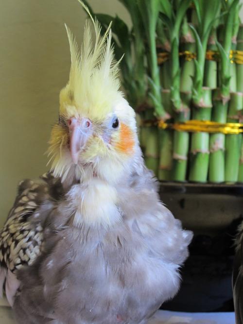 My late Cockatiel, Rocio.