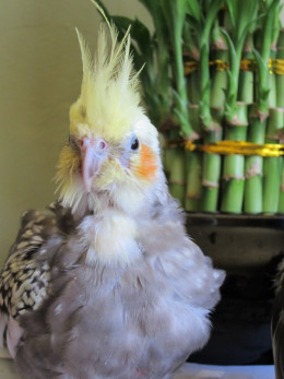 My late Cockatiel, Rocio.