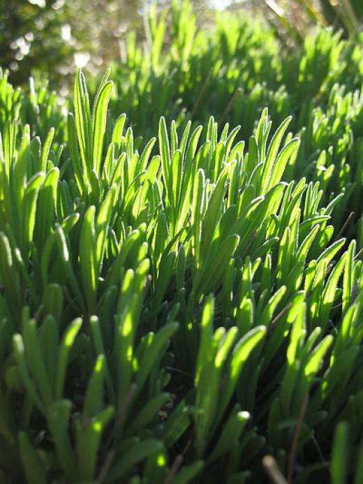 Green Lavender Leaves
