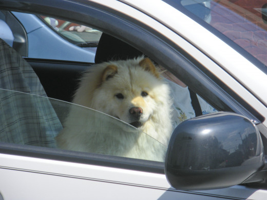 This is my chow-chow-neighbor