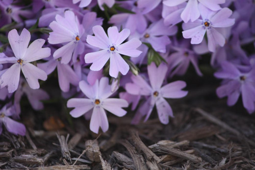 brown mulch makes colorful flowers pop out