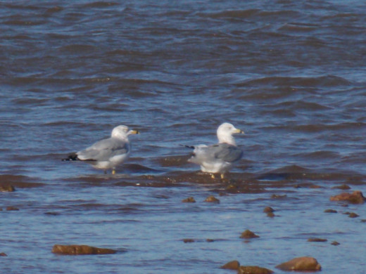 Ring-billed Gulls