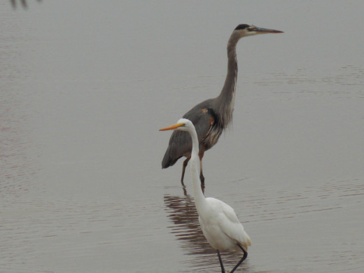 Great Blue Heron(top) and Great Egret(bottom)