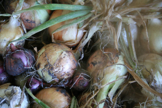 Onion seeds lose vitality quickly. Purchase new seeds or starter plants called sets.