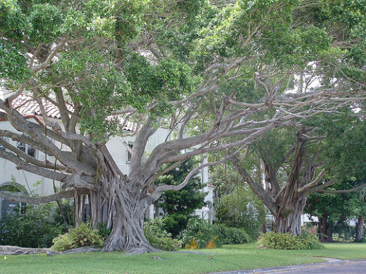 Old trees in St. Pete, FL...could the undead sleep amongst their roots?