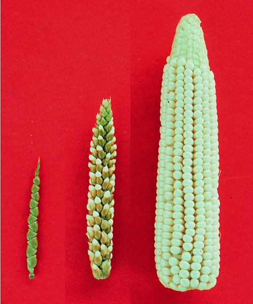 Shows the progression from teosinte (left), to a hybrid (middle) of both, and finally to corn (right).