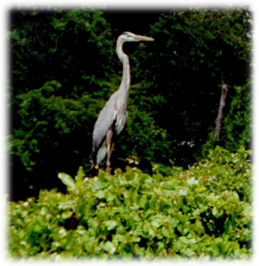 the Herons may know