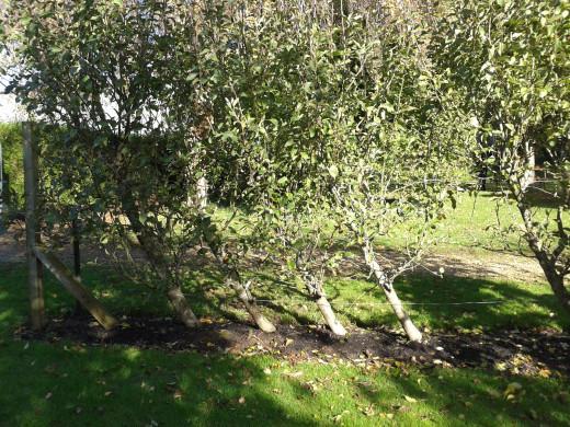 Mature Apple Cordon