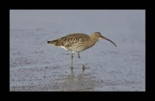 Budle Bay curlew hunting