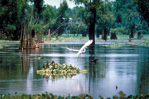 Atchafalaya Swamps - part of the Mississippi's lower basin, southwest of New Orleans.