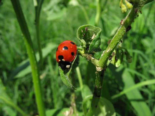 A lady bug enjoying an aphid meal