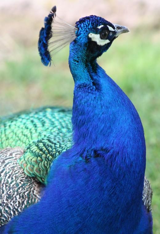 Peacock in Tucson, AZ zoo