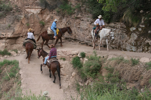 Mules on South Kaibab trail, Grand Canyon
