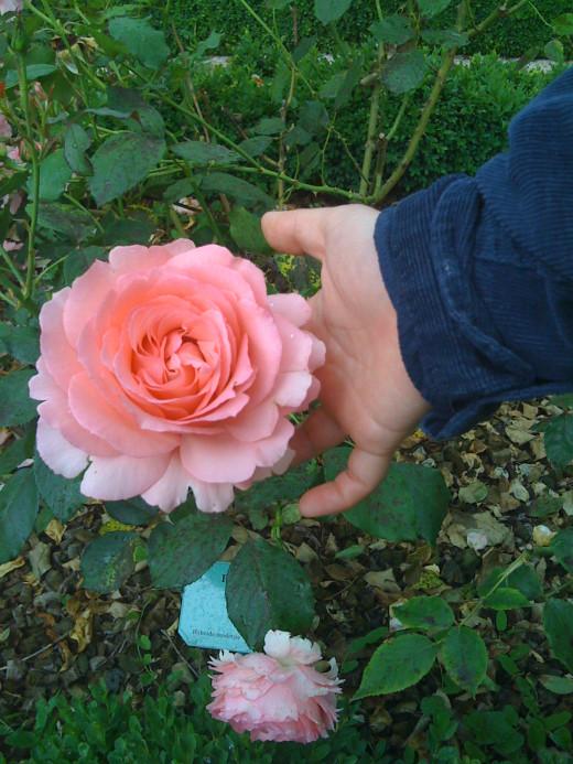 A rose in the Dijon botanical garden.