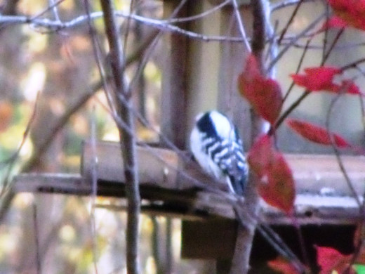 Downy Woodpecker perches with her back to us--she's more interested in breakfast!