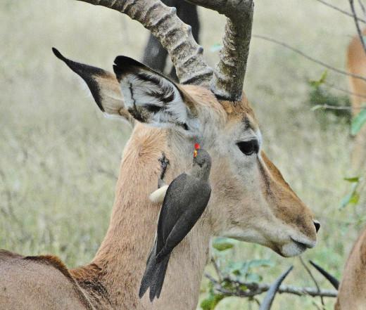 Oxpecker and Impala