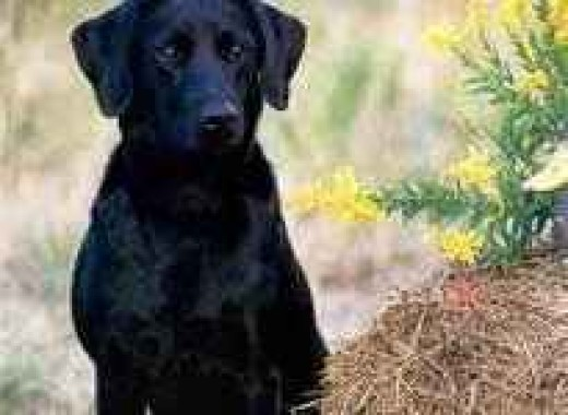 "American Labrador - note the narrow eyes and nose and rounded ""dome"" head."