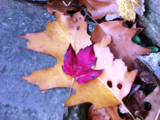 Burgundy adorns this red maple leaf, which rests atop a golden brown Northern Red Oak leaf.