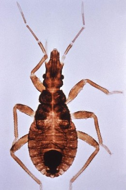 Close up of a kissing bug