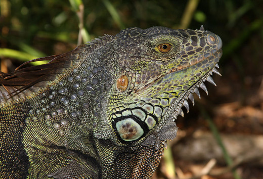 Another Green Iguana