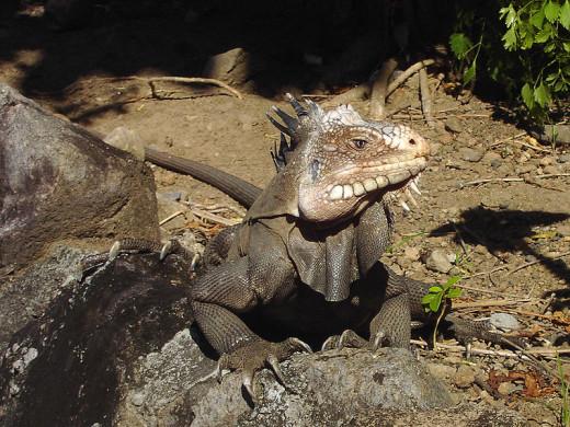 A lesser Antillean iguana in the wild in Dominica.