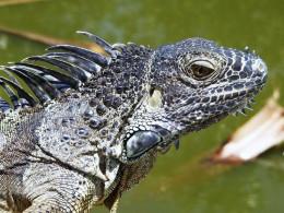 Cayman Iguana