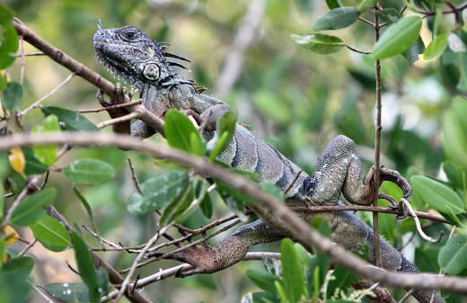 An iguana at La Manzanilla, Jalisco, Mexico at an environmental reserve.