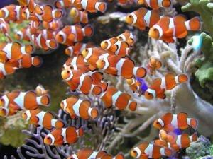 Cute little baby clownfish